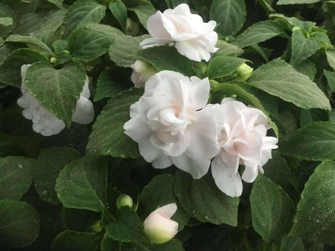 Balkon und Garten Blumen-Luz Altensteig 2018 (1)