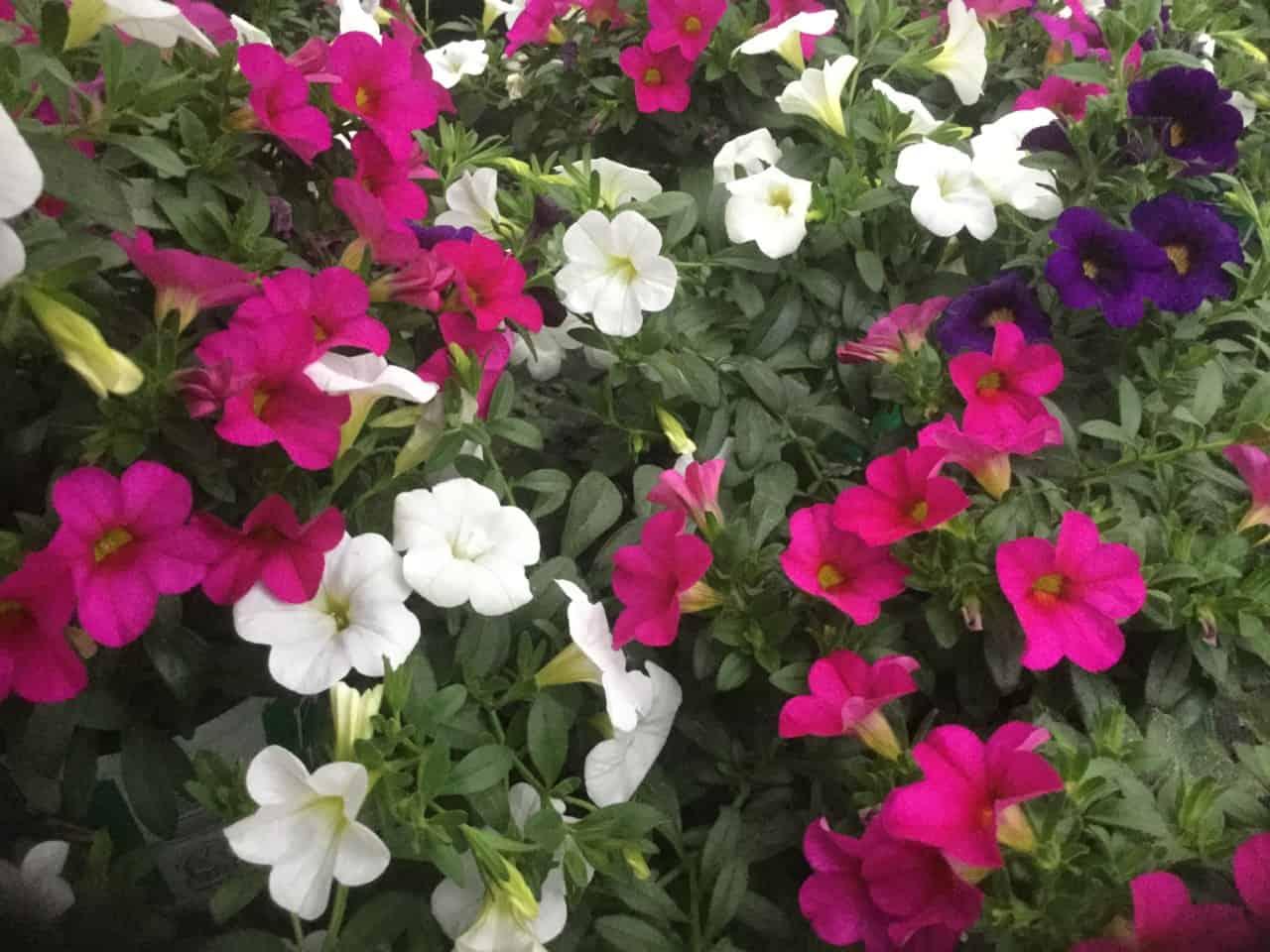 Balkon und Garten Blumen-Luz Altensteig 2018 (2)