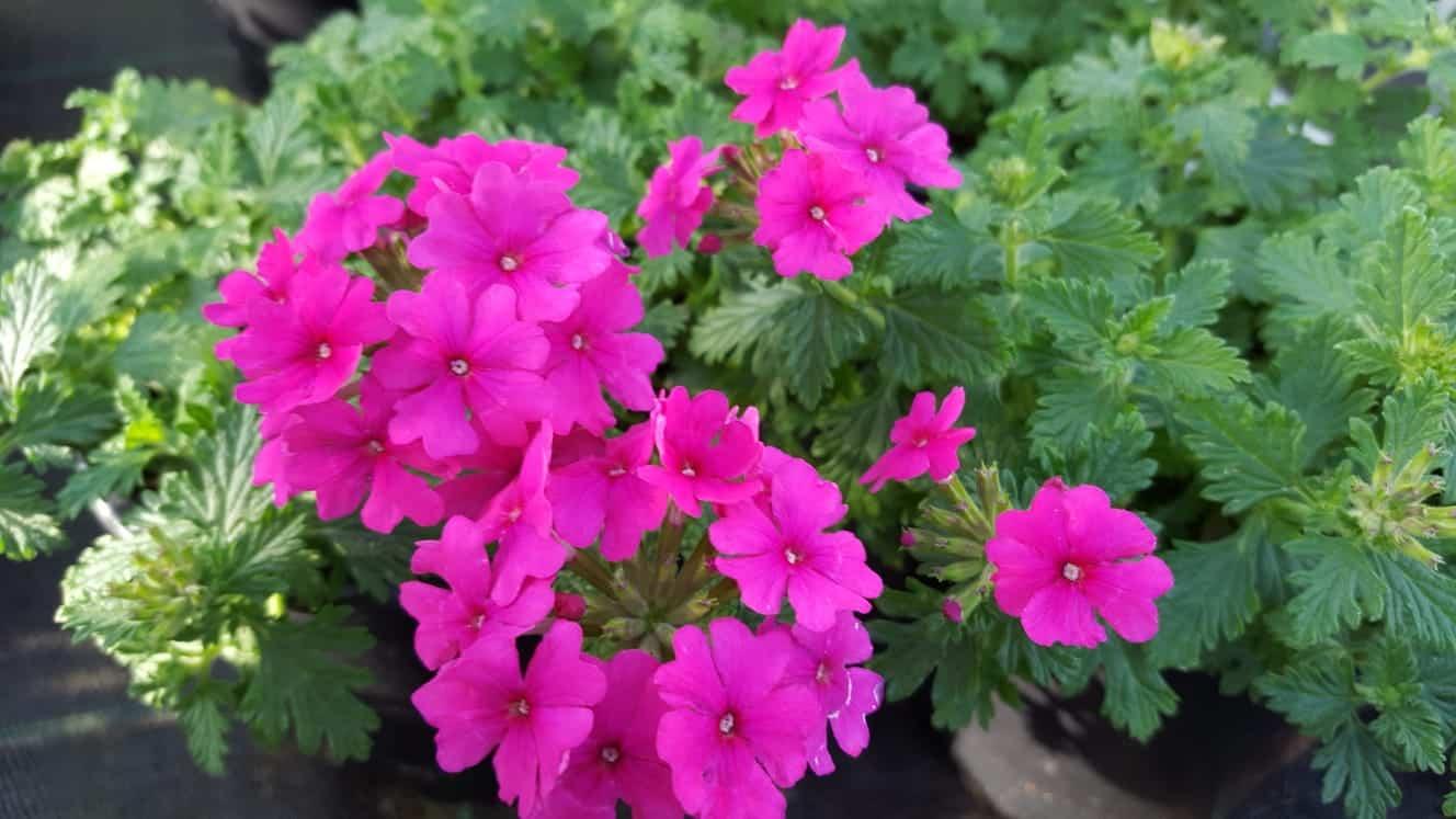 Blumen-Luz Altensteig 20.04.2020 Corona Wiedereröffnnug (1)