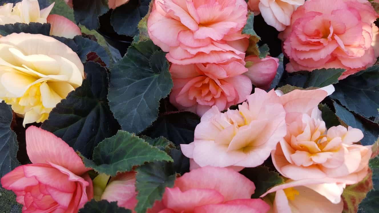 Blumen-Luz Altensteig 20.04.2020 Corona Wiedereröffnnug (4)