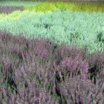 Herbst 2020 Blumen-Luz Altesnteig Corona Hoffnung (1)