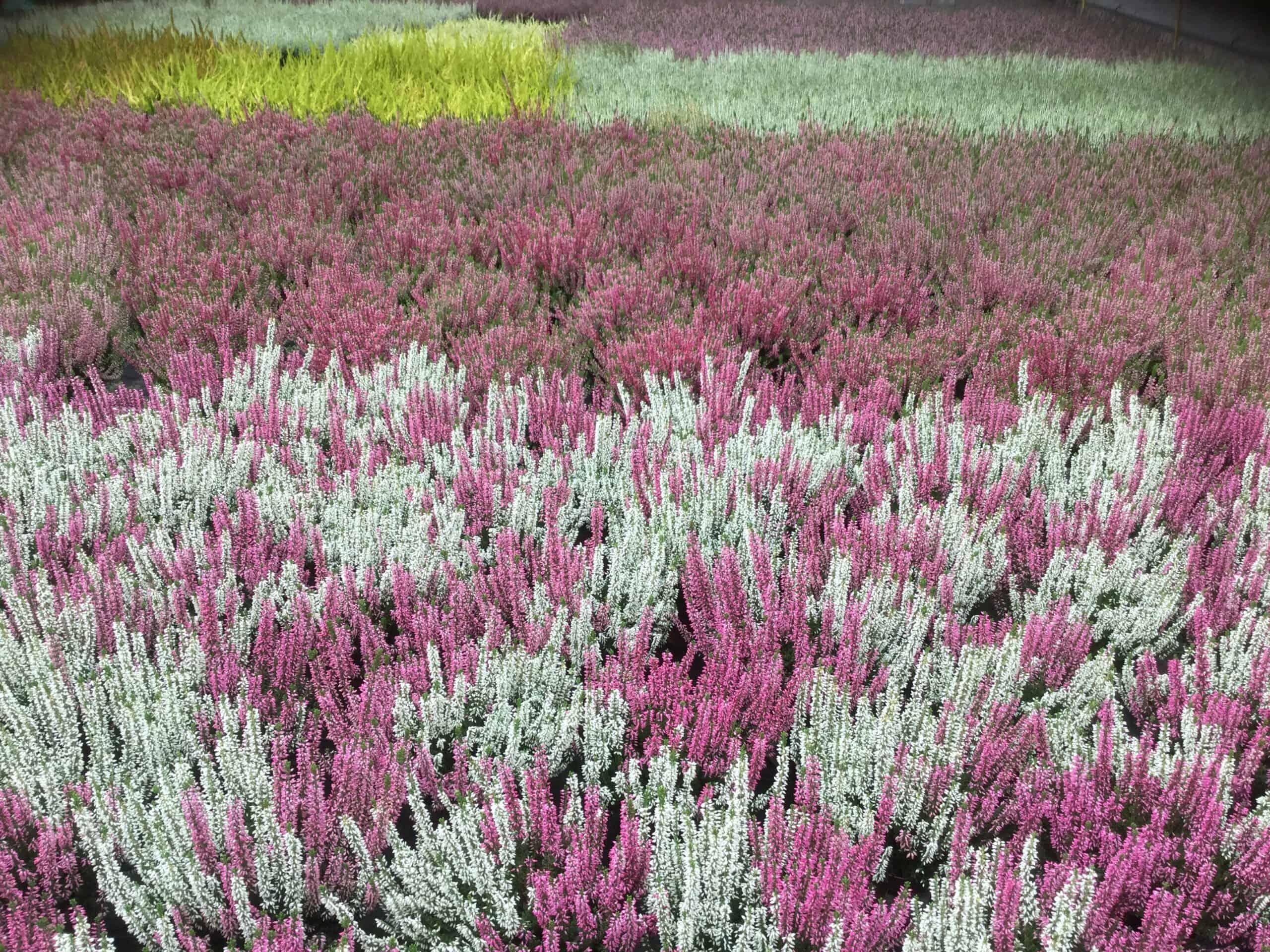 Herbst 2020 Blumen-Luz Altesnteig Corona Hoffnung (3)