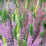 Herbst 2020 Blumen-Luz Altesnteig Corona Hoffnung (8)